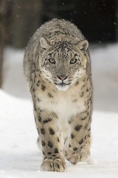 A snowleopard (uncia uncia), photo taken 2005 by Bernard Landgraf. From Wikimedia Commons.