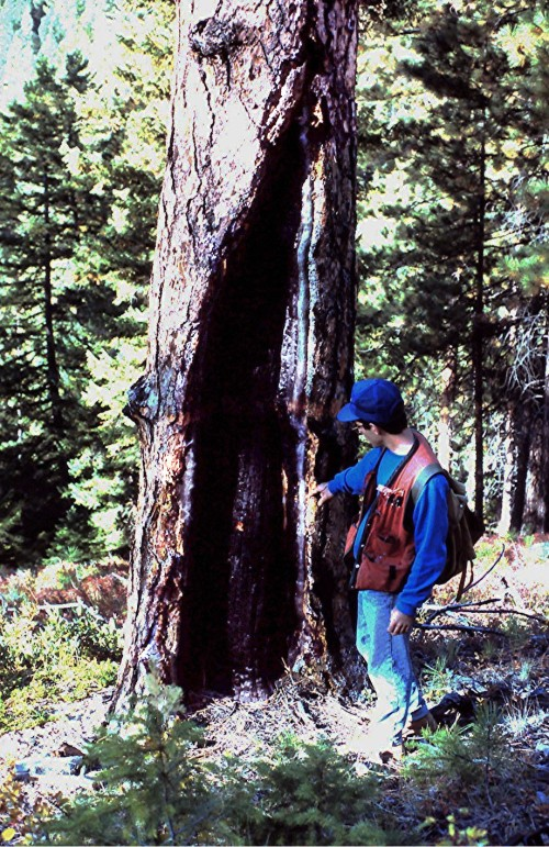 Catface from multiple pre-1900 fires in a ponderosa pine. A thick growth of inland Douglas-fir is now replacing the pine as a result of fire suppression (Photo by author)