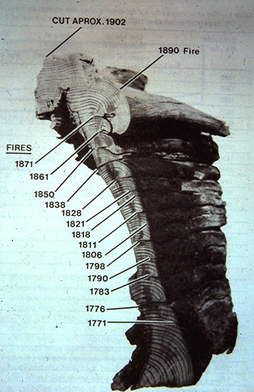 "Scars from individual fires can be seen on the cross-section of a century-old ""pitch stump"" of ponderosa pine. (US Forest Service photo)"