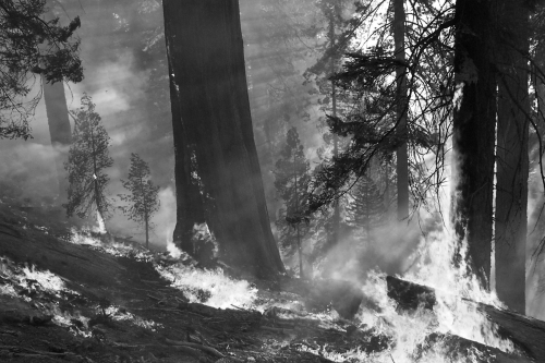 Prescribed burn in a giant sequoia grove, Sequoia and Kings Canyon National Parks (National Park Service photo)