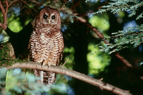 The northern spotted owl: the bird that changed American forest history, and the life of Jack Ward Thomas. (Photo by Tom Iraci, US Forest Service)