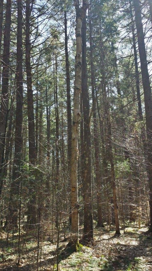 13B-White birch